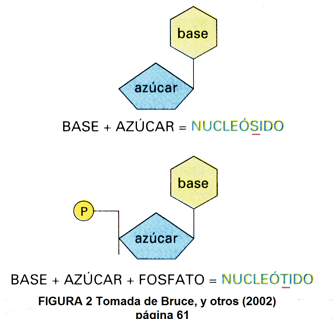 biolog a celular hidratos de carbono y cidos nucleicos