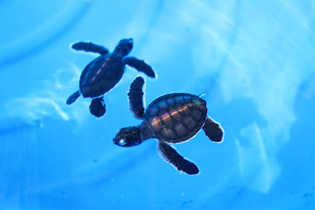 Green Sea Turtle Hatchlings