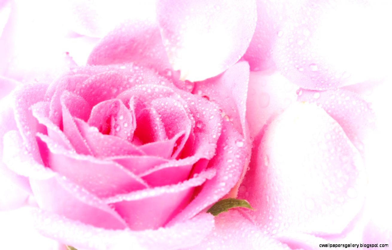 Pink Rose White Background   wallpaper