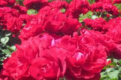 薔薇リリーマルレーン