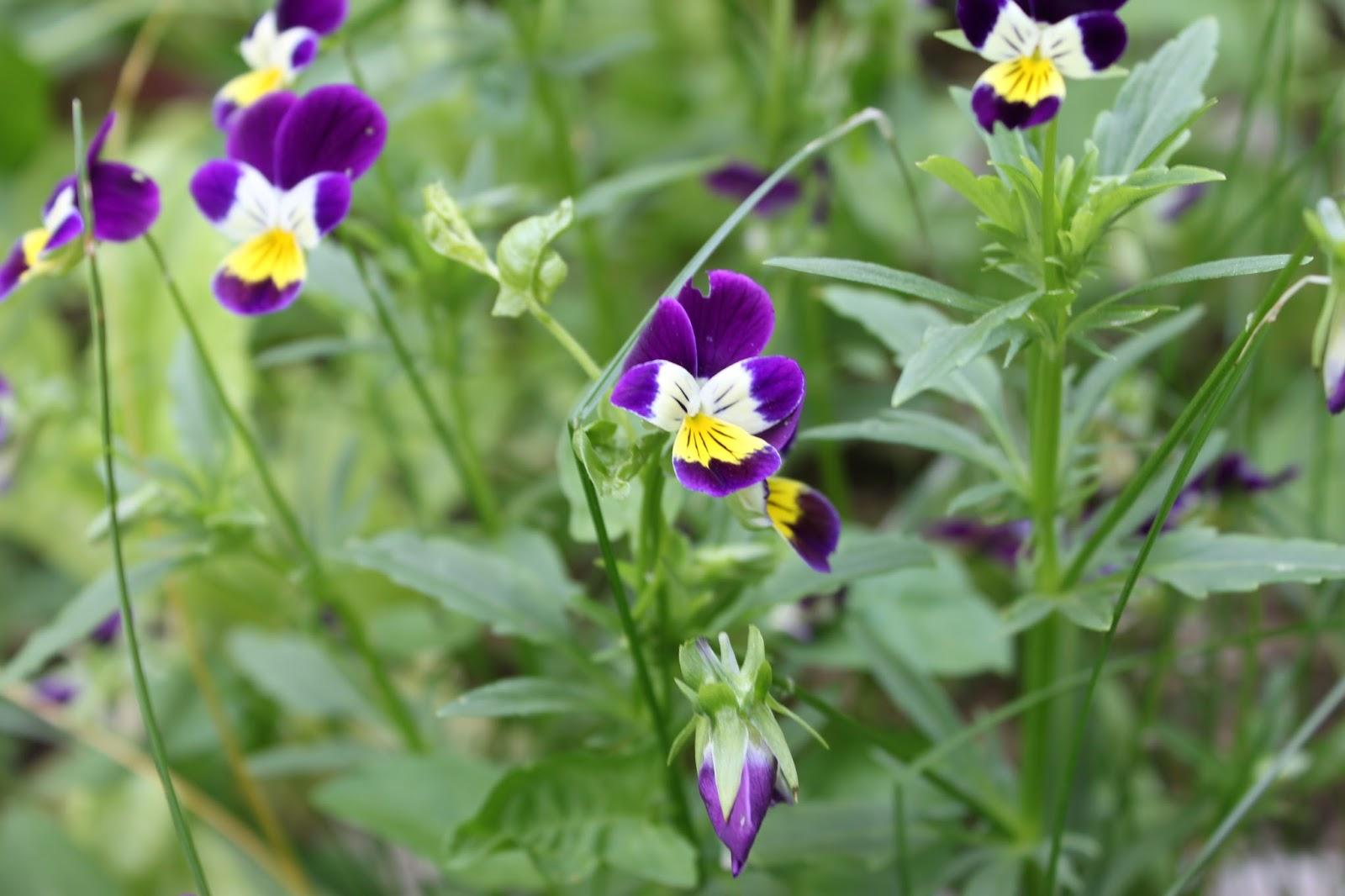Simpson Eco Farms Edible Flowers Pansy s Johny jump ups viola Ju