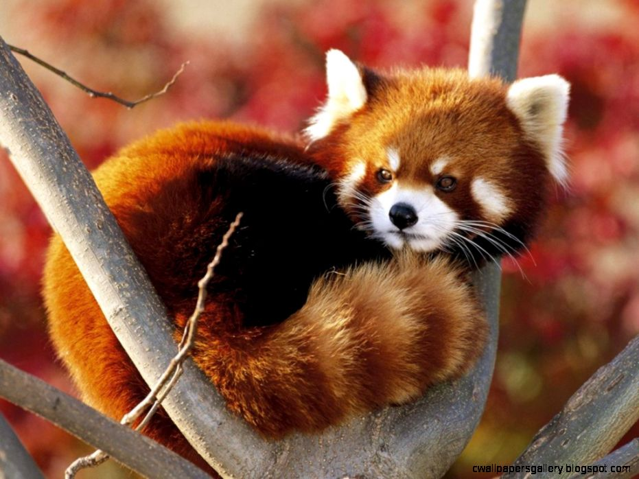Know About Cute Little Red Panda From Himalayas   Animals Globe