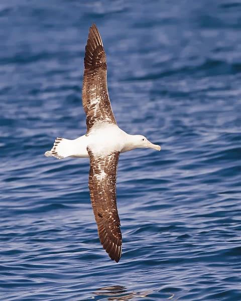 World Bird Sanctuary Birdlore Albatross The Lucky Charm