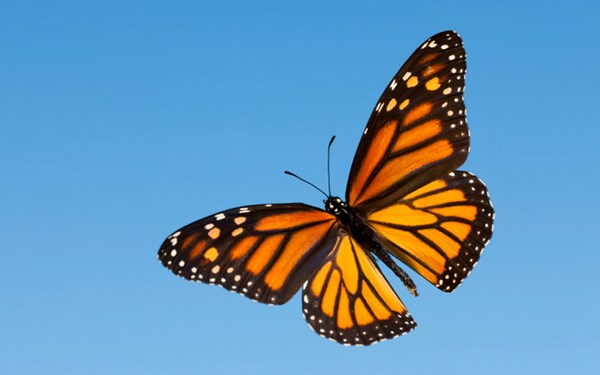Monarch Butterflies Images Free Download