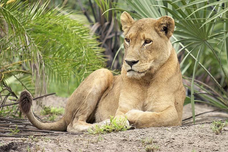 Jaguar vs Lioness Fight Comparison  Compare Animal