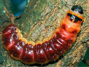 Личинка древоточеца пахучего