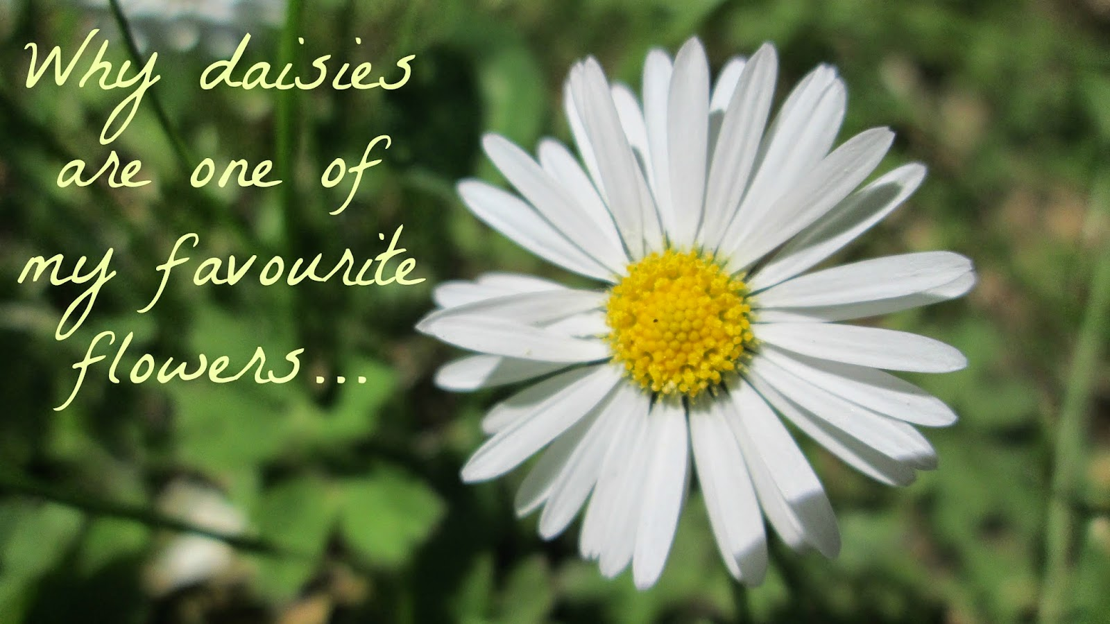 Elegantanchors why daisies are one of my favourite flowers this is a very random post but i thought it would be an interesting post for you guys to read everyone has their favourite flower izmirmasajfo