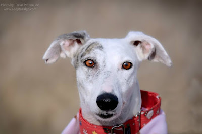 adoptable galgo