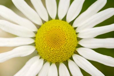 Oxeye Daisy Leucanthemum vulgare
