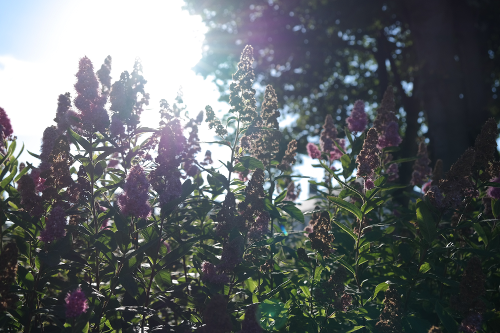 Sunlight through rosebay willow herb