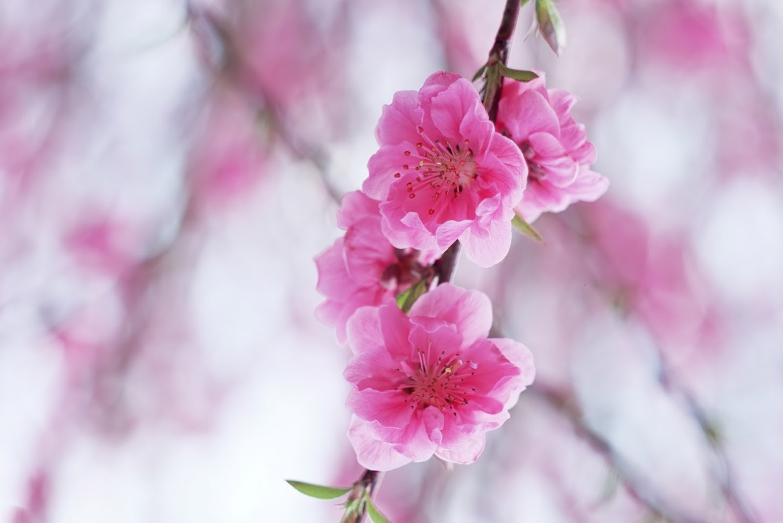 Cherry Blossom Flowers Wallpapers Flowers