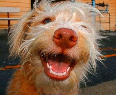 perro+sonriendo Imagenes chistosas de animales...