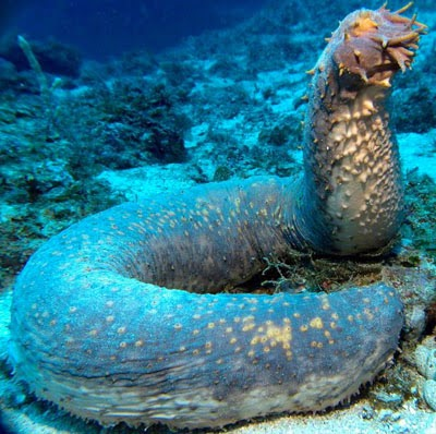 The Sea Cucumber