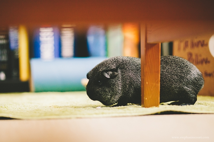 guinea-pig-playing