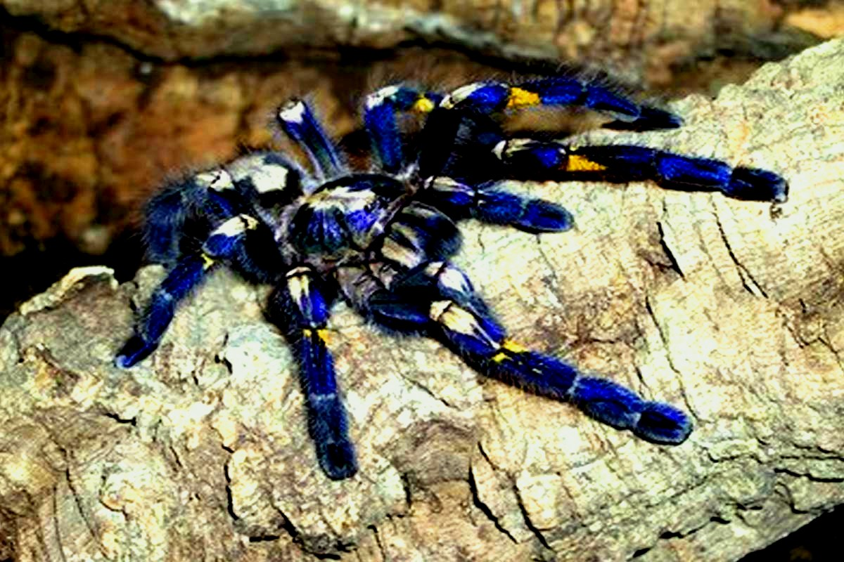 Amazing Animals Pictures: The Blue Colour in eight legs