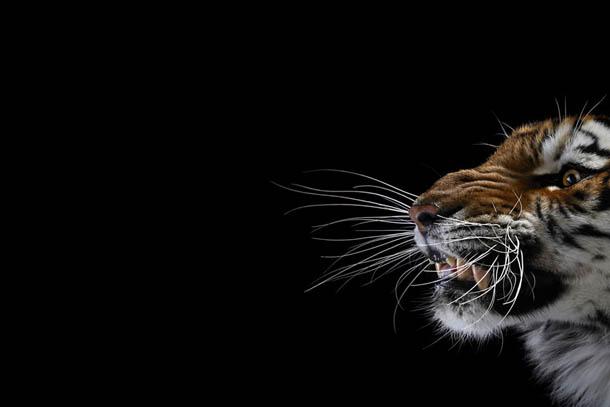 fotografia de animais selvagens- Brad Wilson - tigre