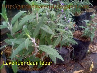 davenda daun lebar sebagai tanaman pengusir nyamuk