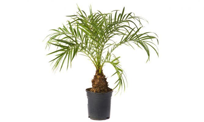 Jardiner a palmera de roebelen - Planta interior palmera ...