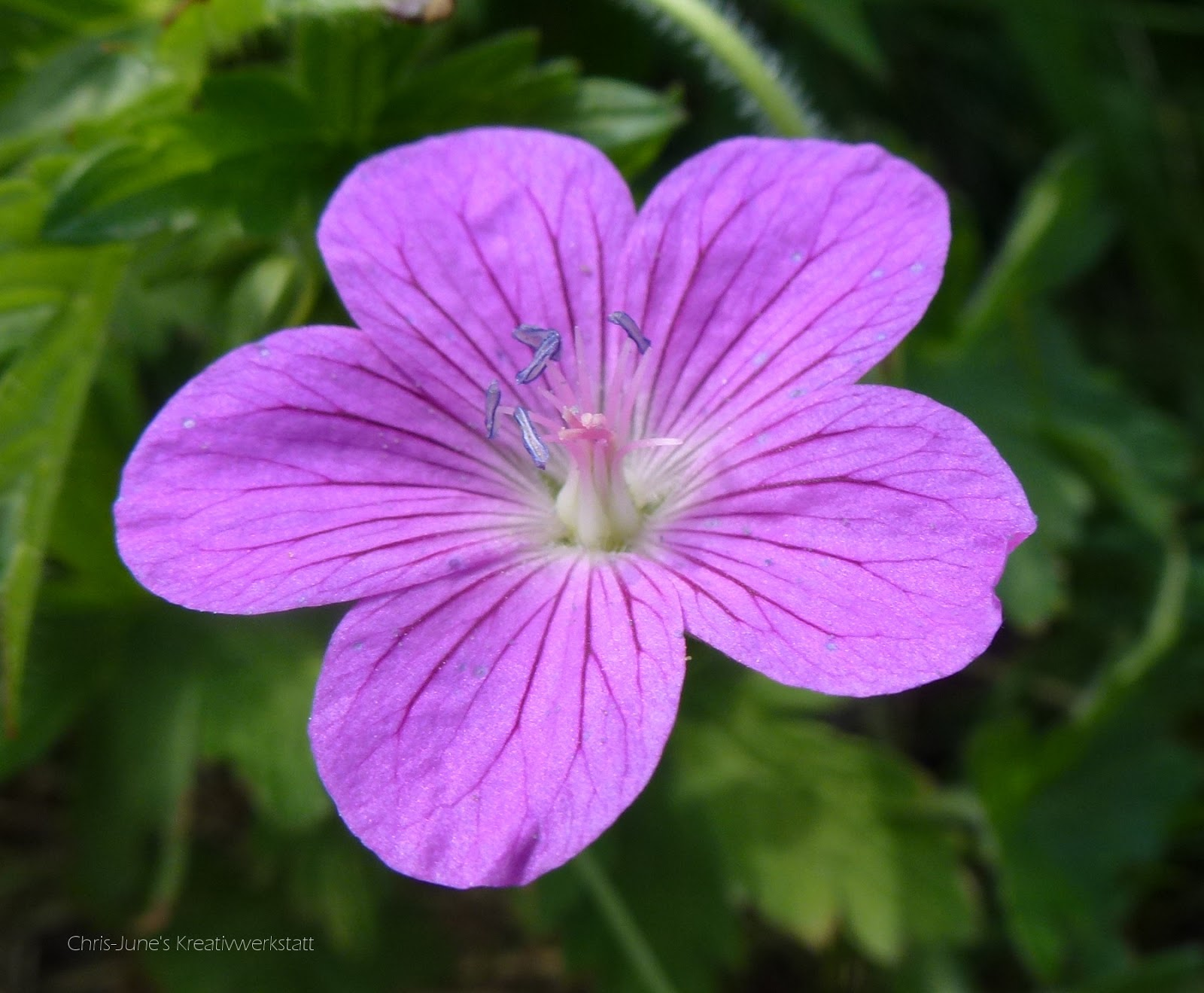 Storchschnabel lila