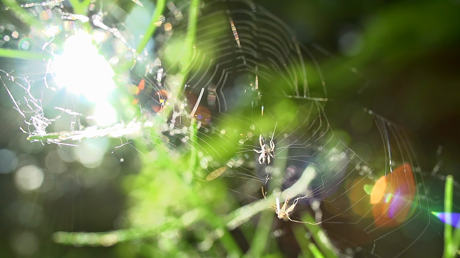Free Royalty Free Footage of a mosquito caught in a spiderweb being eaten