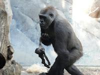 Induk Gorila Ini Coba Bangunkan Anaknya yang Mati