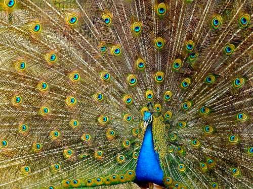 Indian peafowl -Blue peafowl - Pavo cristatus