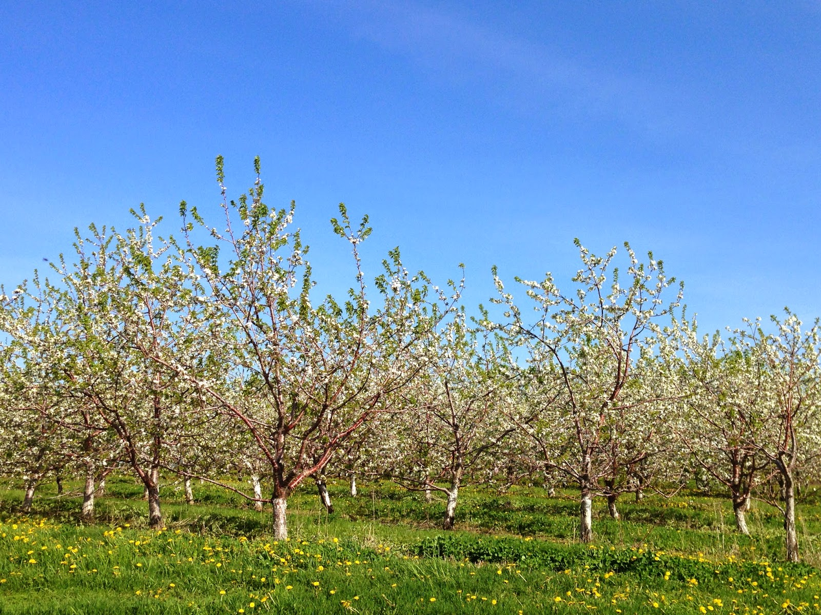 Cherry Orchards in Bloom in Door County, WI at RainbowsWithinReach
