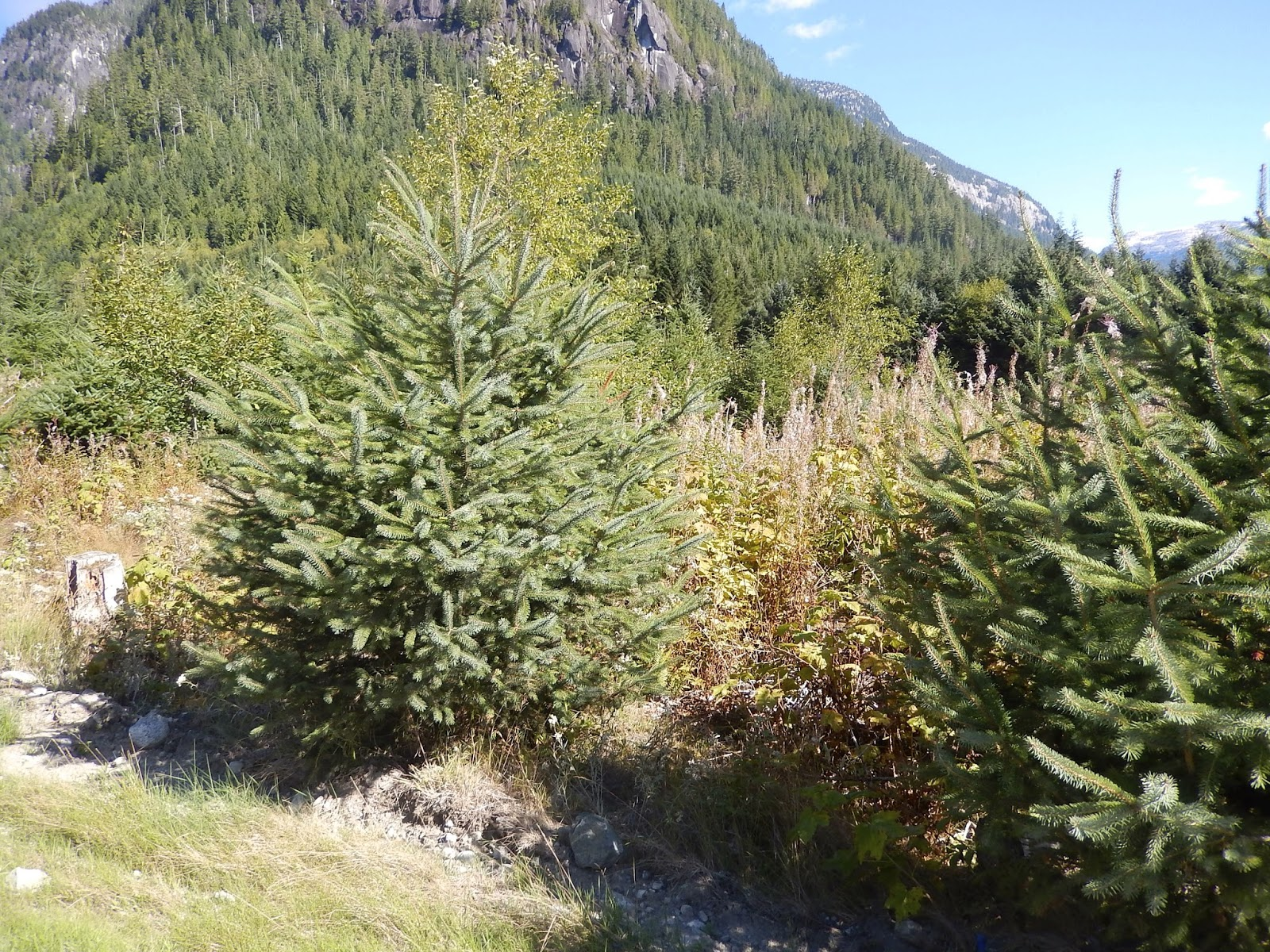 coastal sitka spruce - photo #2