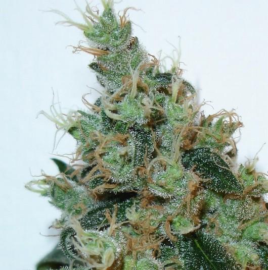 flores de marihuana: