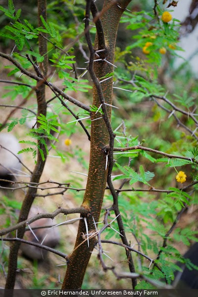 efficacy of acacia bark extract againts Of bark extracts was evaluated against brown-rot fungus coniophera puteana,  çalışma alanı: sahil çamı (pinus pinaster l), demir (casuarina equisetifolia l), mimoza (acacia  effectiveness of bark extracts, brown-rot and.