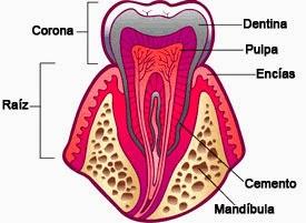 Funciones del ligamento periodontal