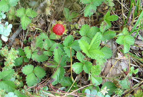 Wild Strawberry Vine Strawberry leaves contain many