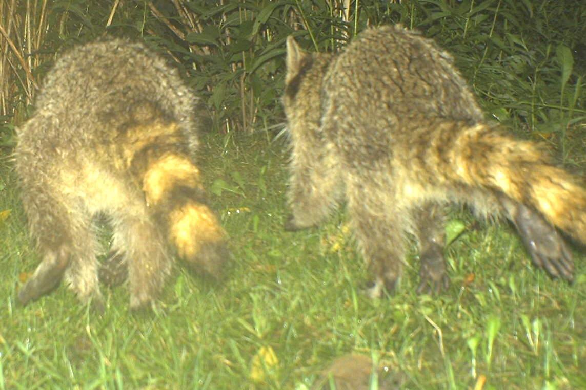 backyard beasts raccoon tracks and trails