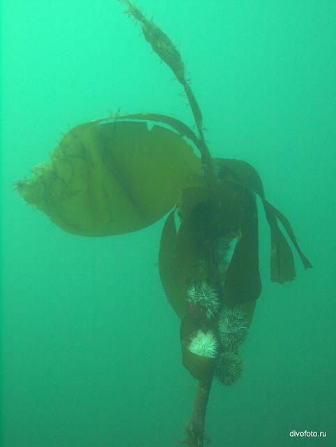Морские ежики на морской капусте фото