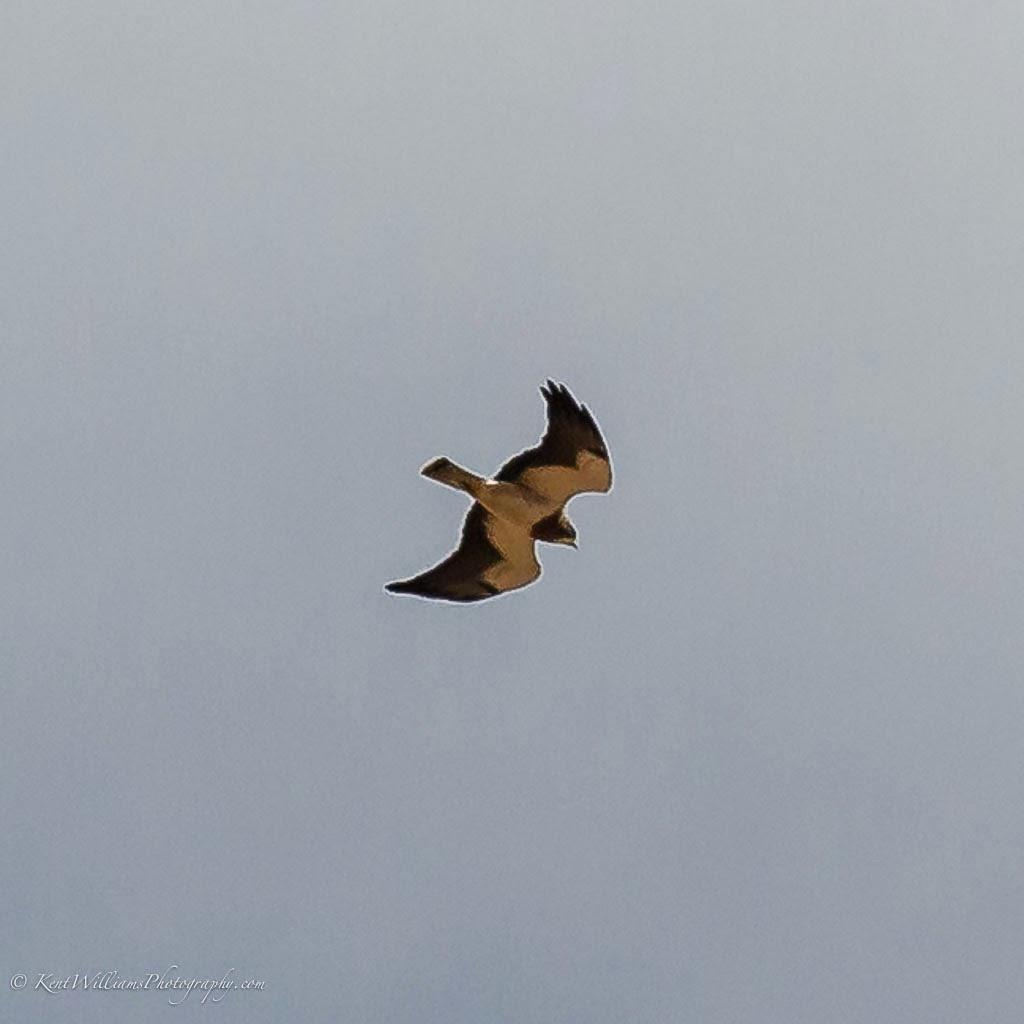Swainson't Hawk High up in air