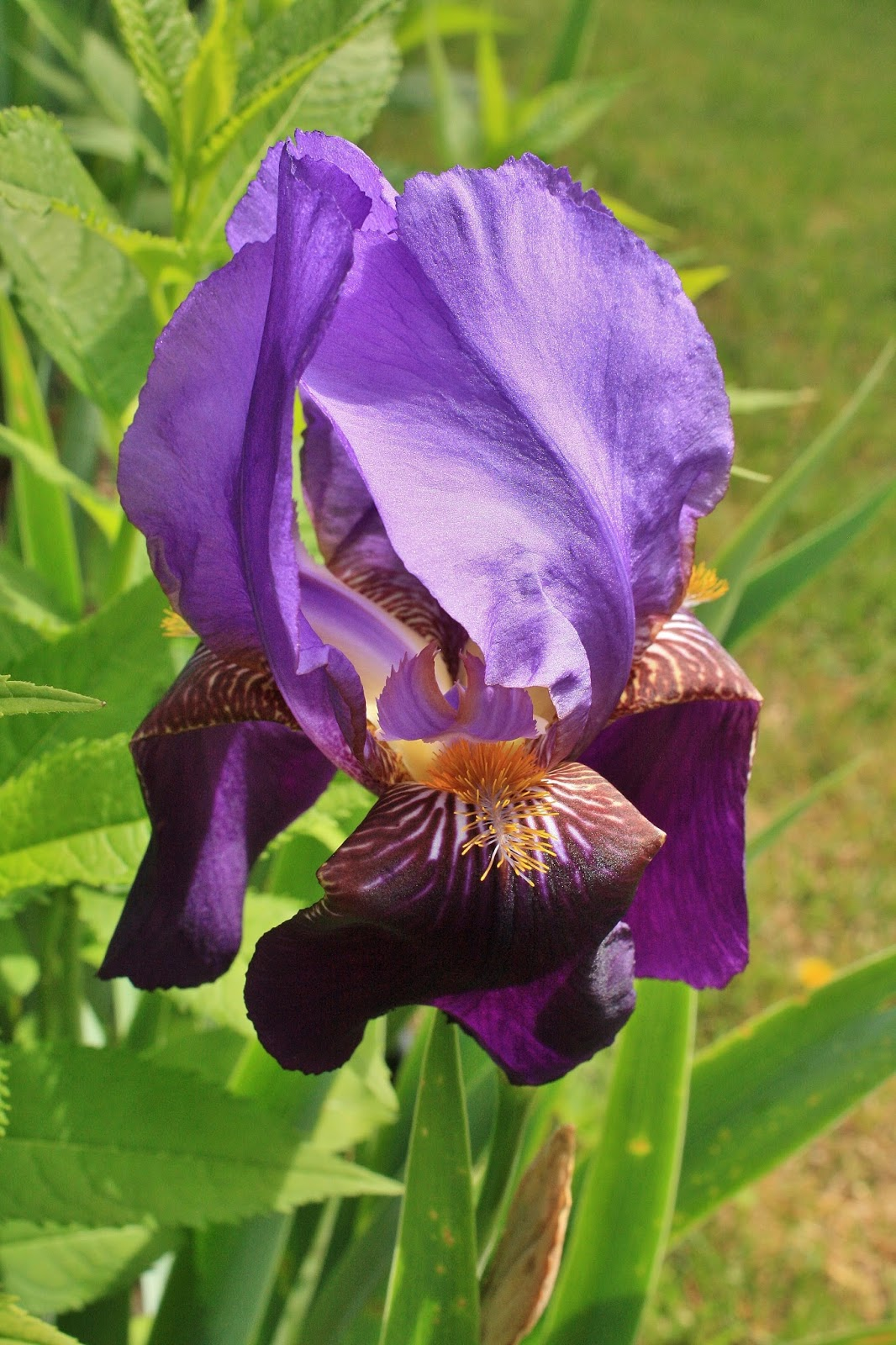 September Violets Tips for Iris and a Mystery Flower
