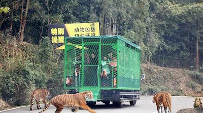 Πληρώνουν για να τους κυνηγάνε άγρια λιοντάρια και τίγρης