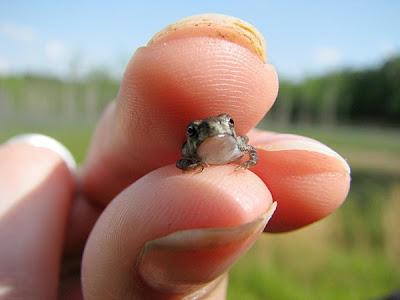 最小青蛙 7.7公釐