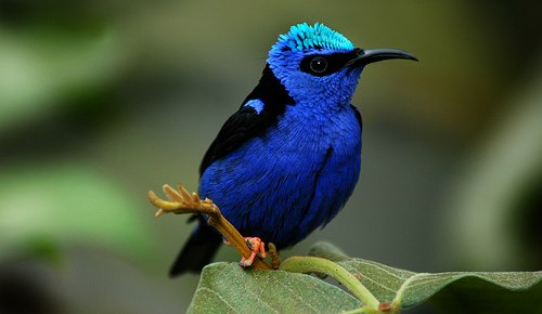 Honey-creeper bird