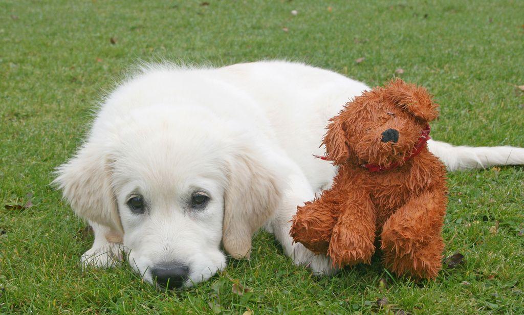 27. Sallie - Golden Retriever puppy by Ingrid0804