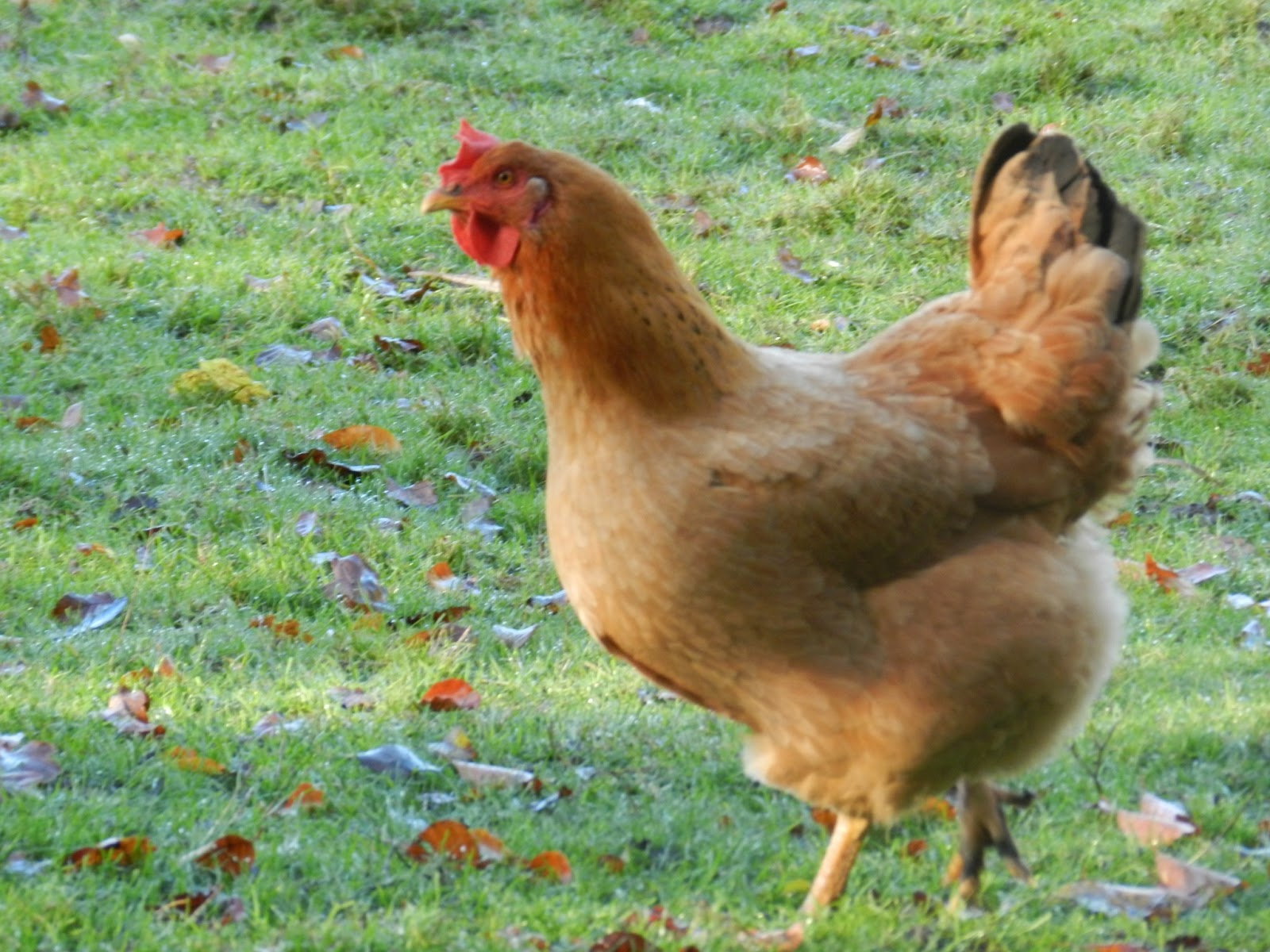 not e louise cuisiner les restes de poulet r 244 ti