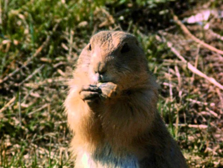 Prairie dogs in The Vanishing Prairie, released by Disney.