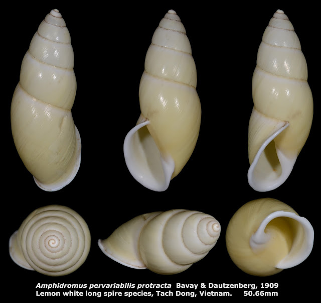 Amphidromus pervariabilis protracta 50.66mm