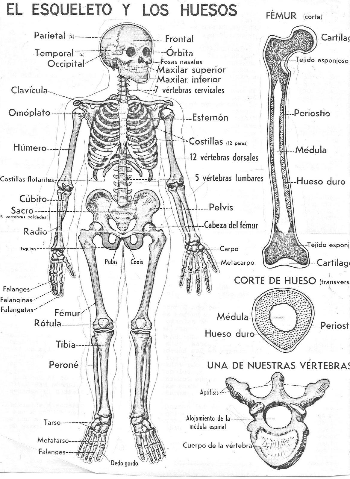 COLOREA TUS DIBUJOS: Esqueleto y huesos para colorear