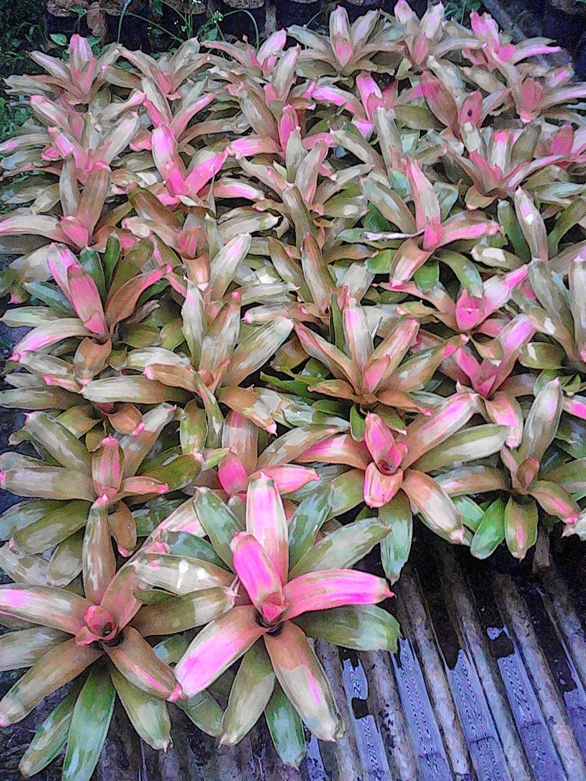 harga bromelia pink grass