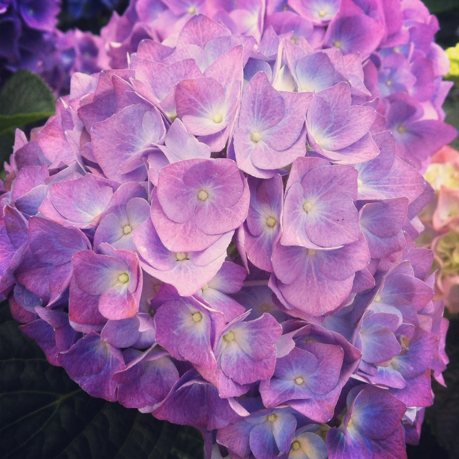 y os traigo para que disfrutis hortensias de mil colores es una flor verdad