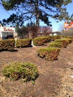 Poor yew pruning by commercial grounds maintenance company garden muses: not another Toronto gardening blog