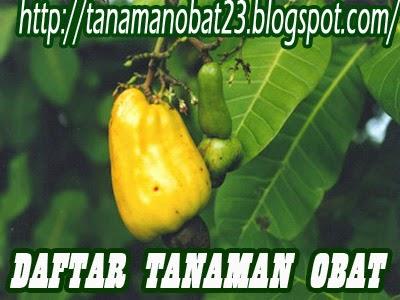 Tanaman Obat Jambu Monyet  (Anacardium occidentale, Linn.)
