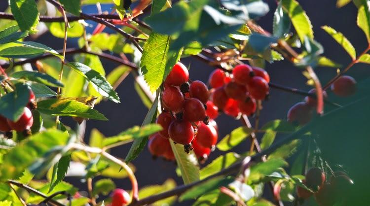 Hyben på kobberrose giver haven farve og fuglene mad