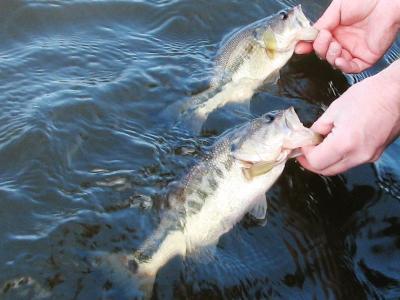 North american freshwater fishing spring bass fishing for Spring bass fishing